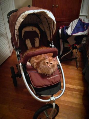 Newton, I hate to break it to you but this stroller is not for cat walks!