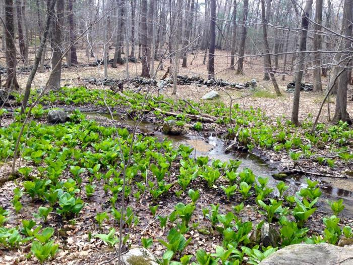 Skunk cabbage is some of the first vegetation to spring up.